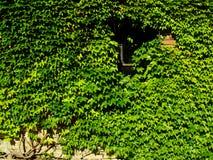 плющ boston Стоковая Фотография RF