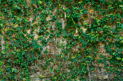 плющ brickwall Стоковые Изображения