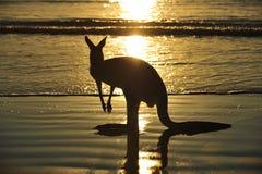 Пляж кенгуруа силуэта австралийский, mackay Стоковые Изображения