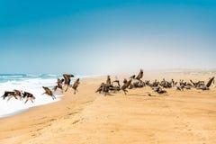 Пляж песка и стадо пеликанов, предпосылка голубого неба стоковое изображение