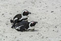Пляж пингвина, Южная Африка Стоковые Фото