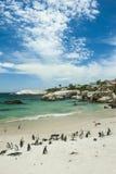 Пляж пингвина, Южная Африка Стоковые Изображения RF