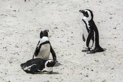 Пляж пингвина, Южная Африка Стоковые Фотографии RF