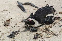 Пляж пингвина, Южная Африка Стоковое фото RF
