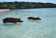 Пляж свиньи Стоковая Фотография RF