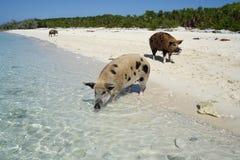 Пляж свиньи Стоковое Изображение RF