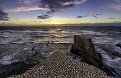 Пляж Muriwai колонии Gannet около Окленда стоковое изображение rf