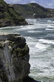Пляж Muriwai колонии Gannet около Окленда Стоковые Фотографии RF