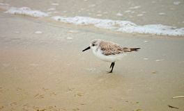 пляж sanderling Стоковая Фотография RF