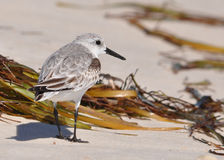 пляж sanderling стоковые фотографии rf