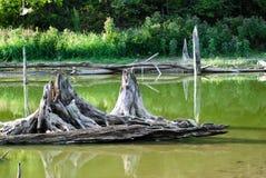 Пни дерева в озере Стоковые Фото