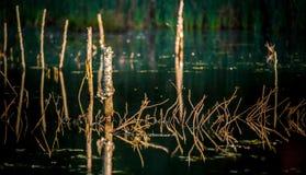 Пни озера и дерева болото Стоковые Фото