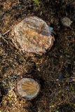 2 пня в лесе Стоковая Фотография