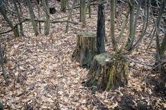 2 пня в лесе осени Стоковая Фотография RF
