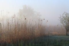 Побережье реки, тростники на заднем плане тумана стоковые фотографии rf