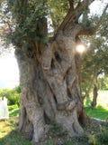 Побережье Эгейского моря Турции, причудливое дерево, Стоковая Фотография RF