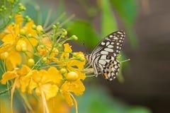 Побелите бабочку известью в коричневых и желтых диапазонах с голубой подавать пятен Стоковые Фотографии RF