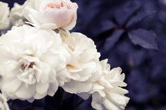 Побледнейте бело-розовые розы на фиолетовой предпосылке листвы Стоковое фото RF