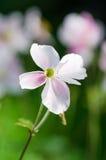 Побледнейте - ветреница розового цветка японская, конец-вверх Стоковое Изображение RF