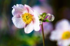 Побледнейте - ветреница розового цветка японская, конец-вверх Стоковая Фотография