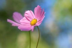 Побледнейте - розовые цветки на красочной предпосылке Романтичный космос цветка 2 в саде на открытом воздухе Стоковые Изображения