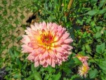 Побледнейте - розовый зацветать цветка Стоковые Фотографии RF