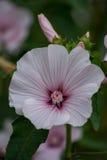 Побледнейте - розовый утес Роза 1 Стоковая Фотография RF