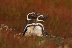 Поведение вложенности, природа 2 птицы в отверстии вложенности земном, младенце с матерью, пингвином Magellanic, magellanicus sph Стоковая Фотография
