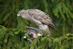 Поведение птицы Убийство jay ястреб-тетеревятника хищной птицы на дереве спруса зеленого цвета Подавая сцена с птицей и задвижкой Стоковое фото RF