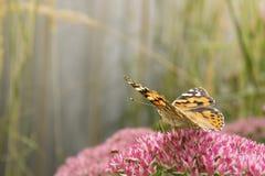 повелительница бабочки покрасила Стоковые Фото