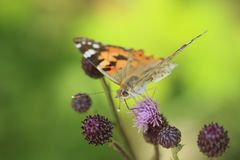 повелительница бабочки покрасила стоковые изображения