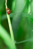 повелительница жука стоковое изображение