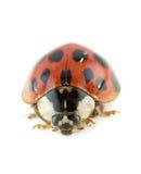 повелительница черепашки жука Стоковое Изображение RF