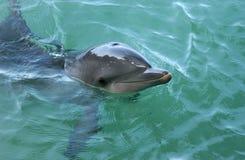 поверхности дельфина Стоковая Фотография RF
