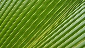 Поверхностная текстура лист ладони вентилятора Стоковое фото RF