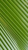 Поверхностная текстура лист ладони вентилятора Стоковые Изображения RF