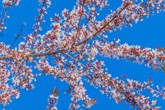 Поверхностная текстура Gratoxylum, formosum, Guttiferae, сладостное красочного цветка Таиланда Сакуры, овощ и травяной с th Стоковые Изображения