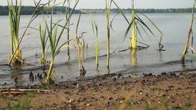 Поверхность воды на реке между тростниками сток-видео
