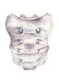 поверхность крестца косточки тазовая Стоковые Изображения RF