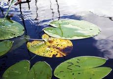 Поверхность озера покрыта с листьями лилий воды стоковые фотографии rf