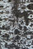Поверхность расшивы серебряного дерева тополя Стоковые Фото
