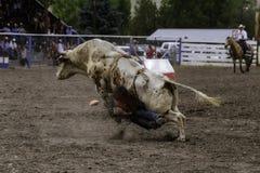 Повешенный вверх всадник Bull получая Stomped Стоковые Изображения