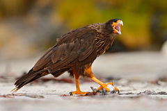 Поведение птицы подавая Caracara Strieted хищных птиц, сидя внутри на утесе, Фолклендских островах, Аргентине Поведение птицы био Стоковые Изображения