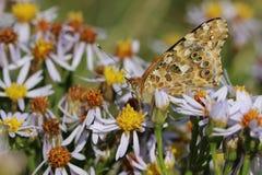 повелительница бабочки покрасила Стоковое фото RF