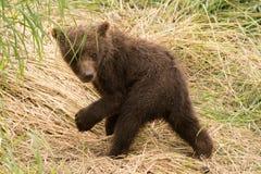 Повороты новичка бурого медведя, который нужно посмотреть назад Стоковая Фотография RF
