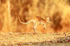 поворотливый wallaby Стоковые Фото
