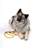 Поводок собаки стоковая фотография rf