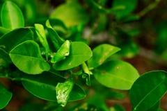 Повреждение горнорабочей лист цитруса на листьях известки приносить Стоковые Изображения RF