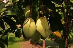 Повреждение плодоовощ манго от thrip Стоковое Изображение RF