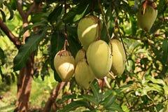 Повреждение плодоовощ манго от thrip Стоковые Изображения RF